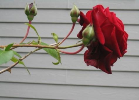 rose5.jpg