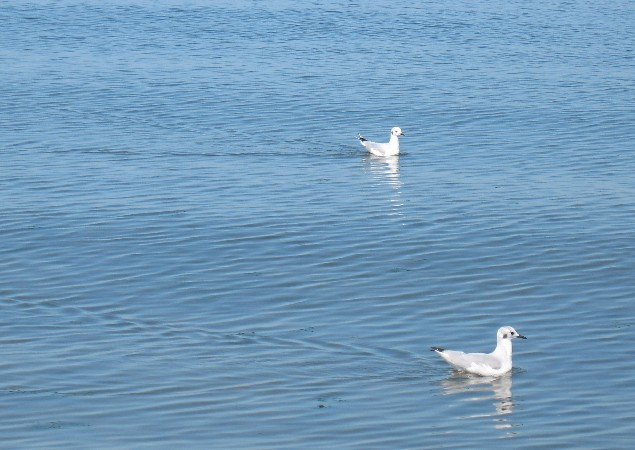 We were interested in these small gulls. They were about half the size of the normal gulls and had long necks.