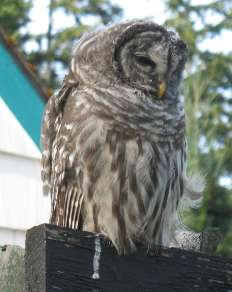 owl 002
